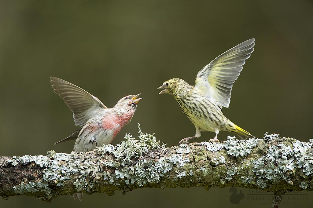 Redpoll and Siskin Fighting
