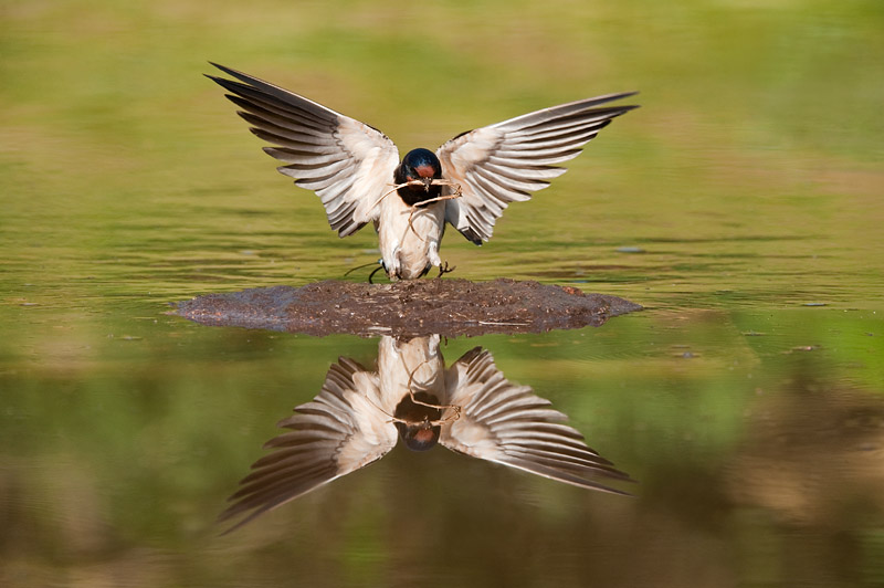 Swallow Reflected