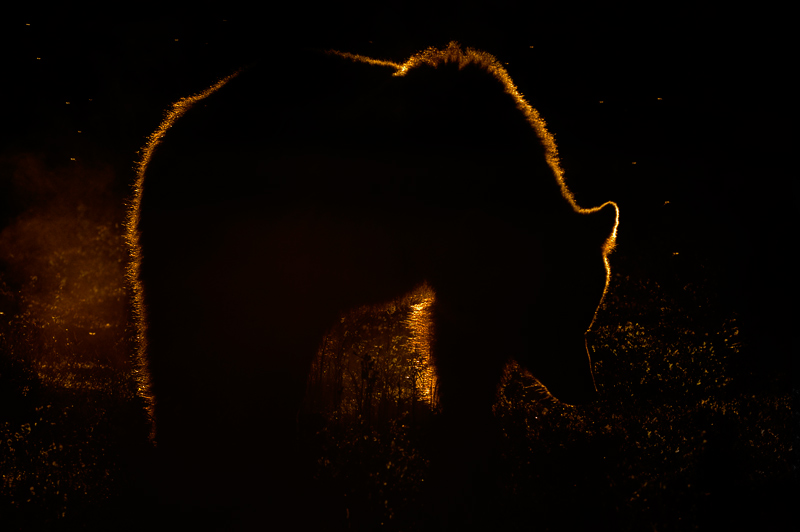 Bear_Backlit