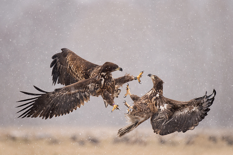Whitetailed_Eagle_Fight