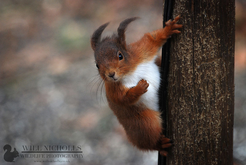 Red Squirrel in Wind
