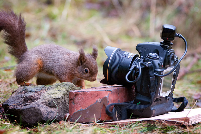 Red Squirrel - Remote Release Photography