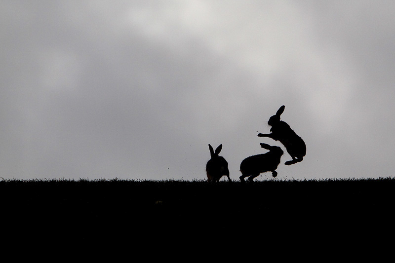 Brown Hare Boxing Silhouette