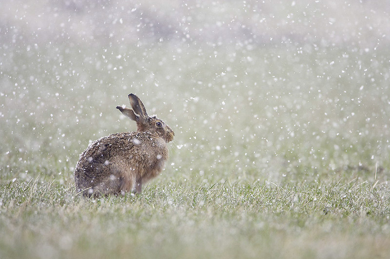 Brown Hare Snow