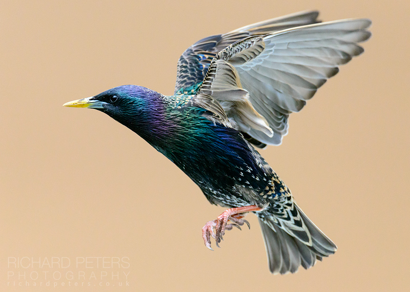 starling spreading wings