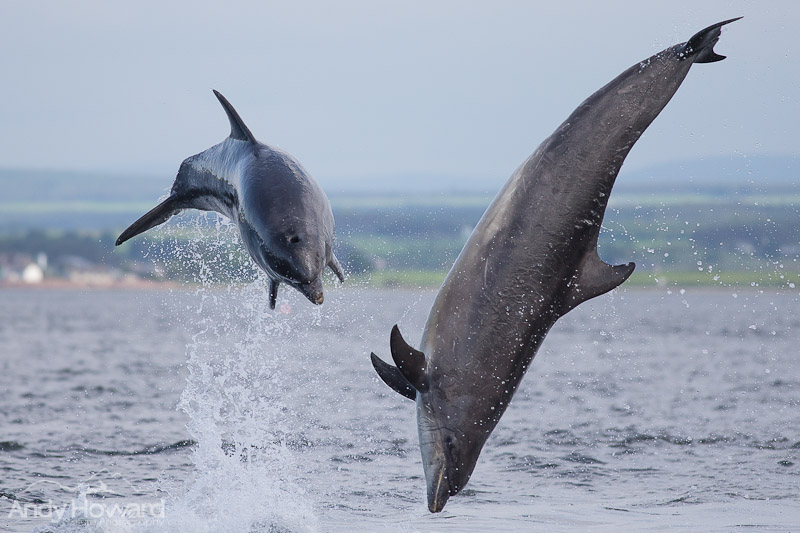 How to Photograph Dolphins Chanonry Point