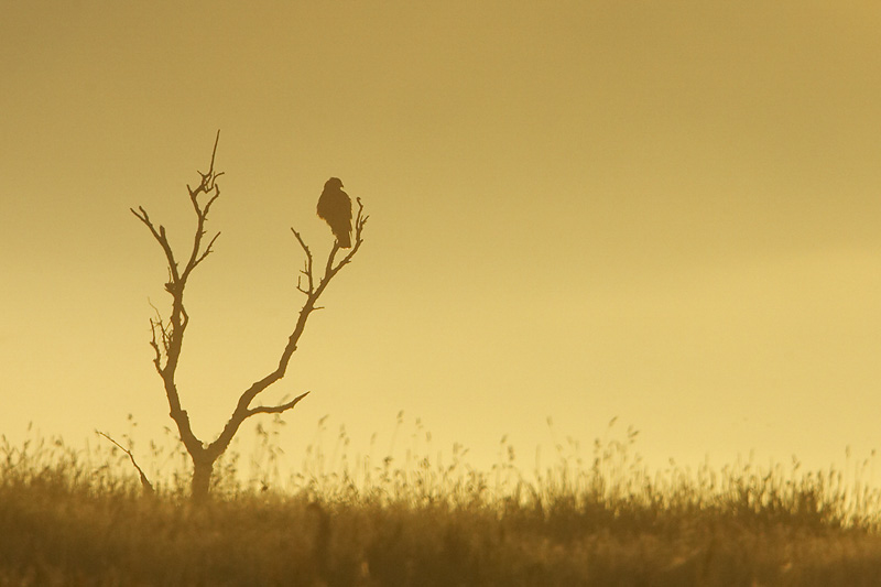 common buzzard golden light winter