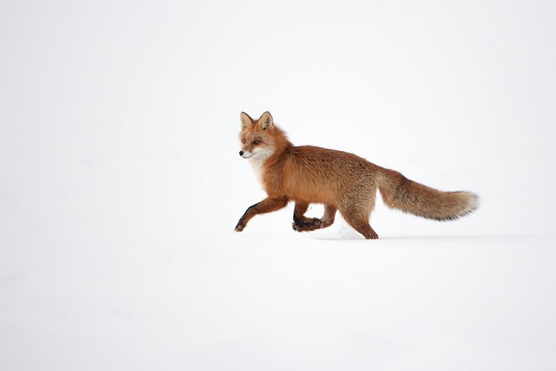 Fox802305