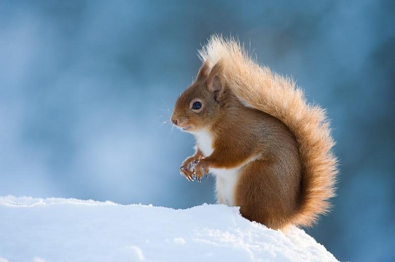 red squirrel winter uk