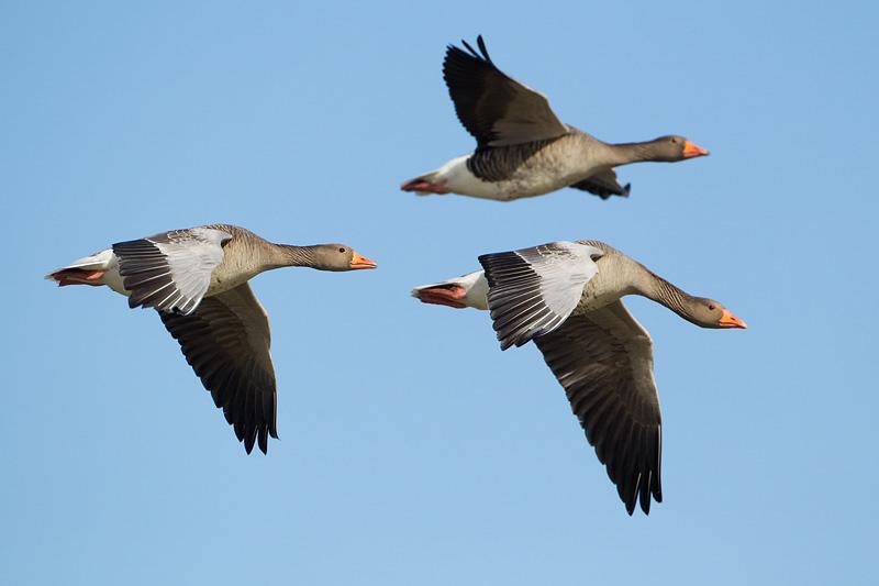 greylag goose uk wwt