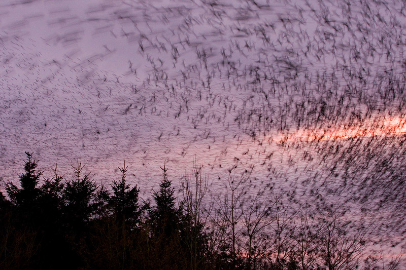 starling murmation