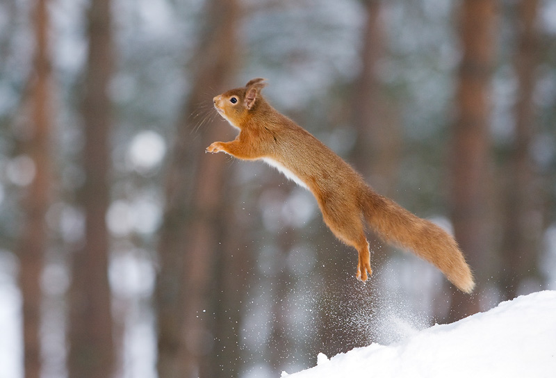 Red Squirrel Sciurus vulgaris in winter coat in snow. Scotland. January.