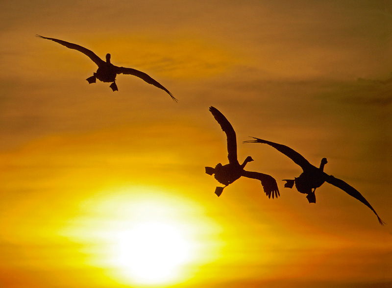 whooper swan sunset photography
