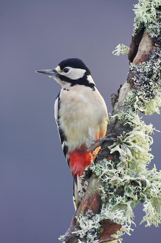 Great Spotted Woodpecker Winter