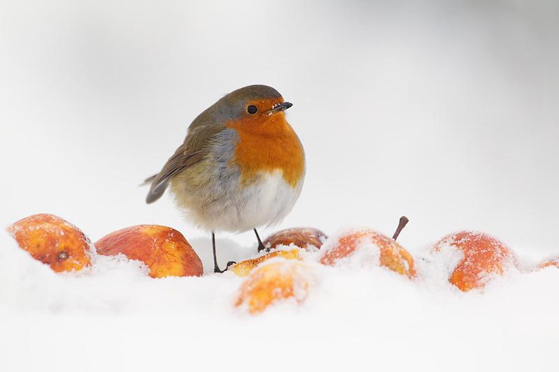 Winter Wildlife Robin