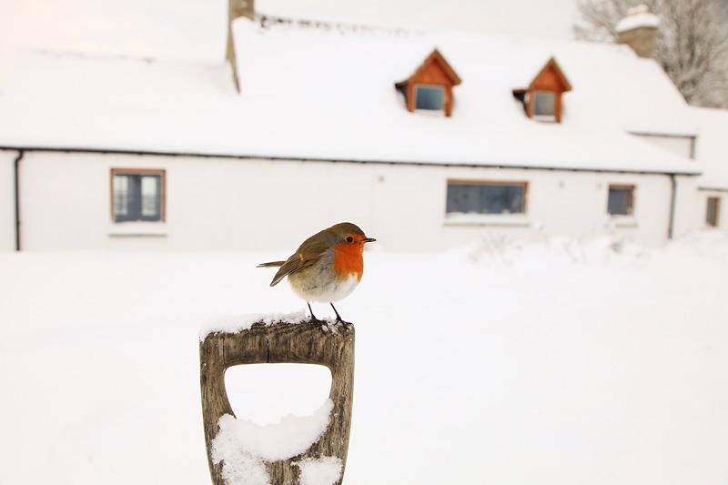 Robin Wide Angle Snow