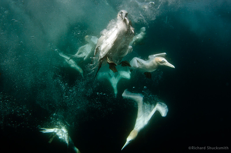 Underwater Gannet Photo