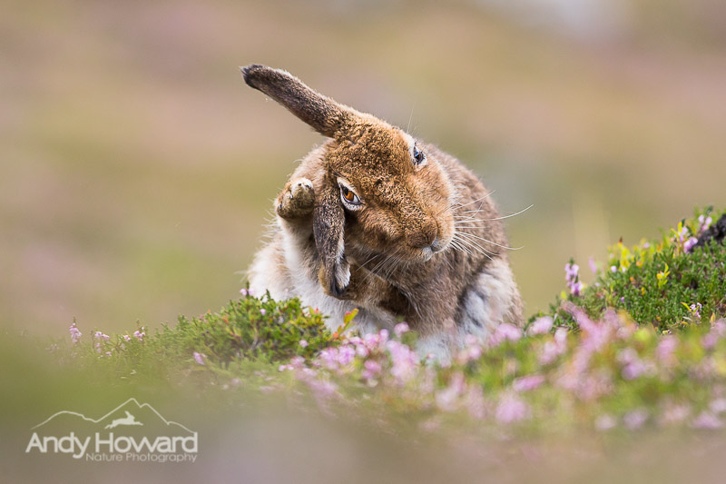 how to photograph mountain hares