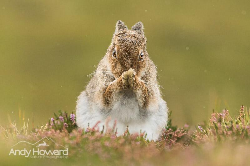 mountain hare photos