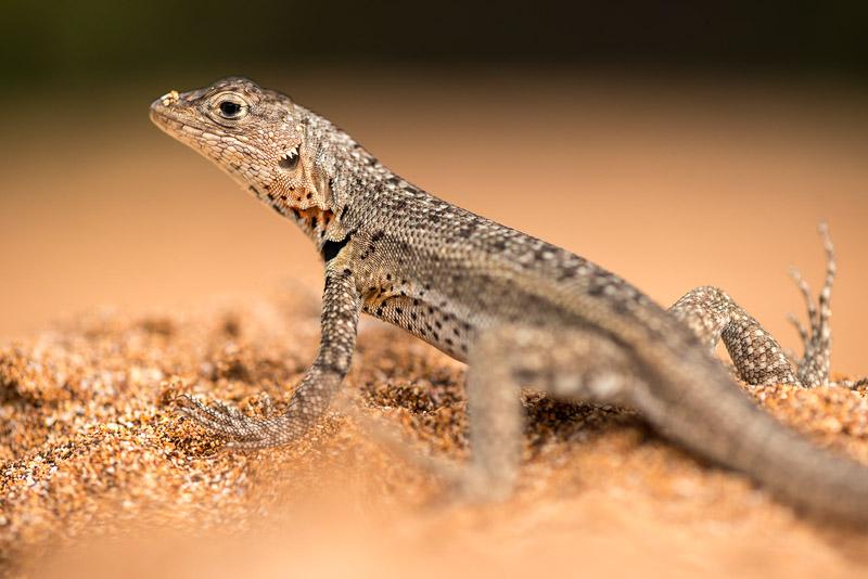 Lava_lizard-7721