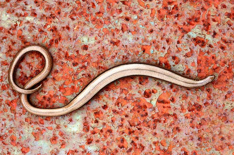 ross hoddinott slow worm