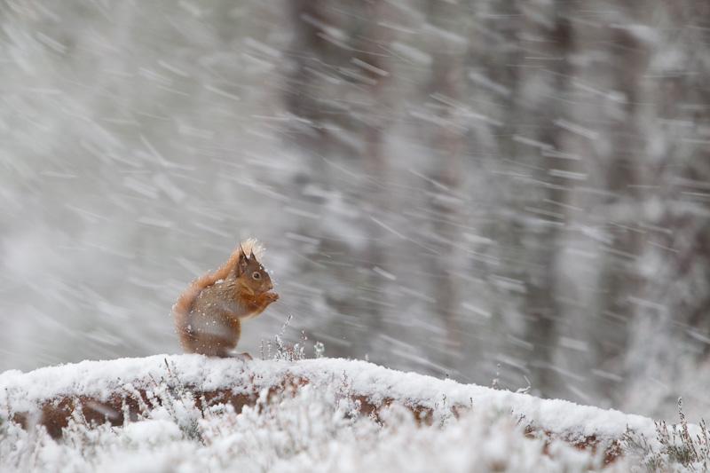 red squirrel in snow northshots