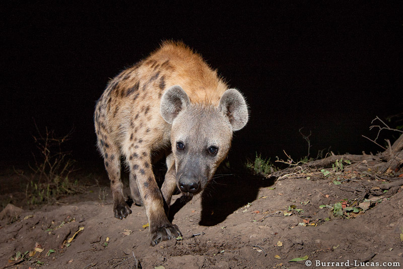 hyena will burrard lucas
