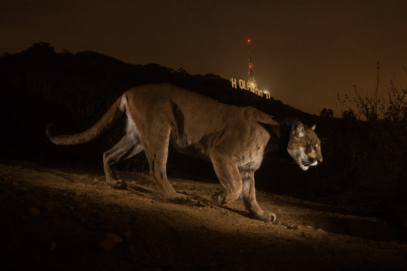Steve Winter photography puma