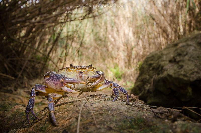 maltese crab how i got the shot