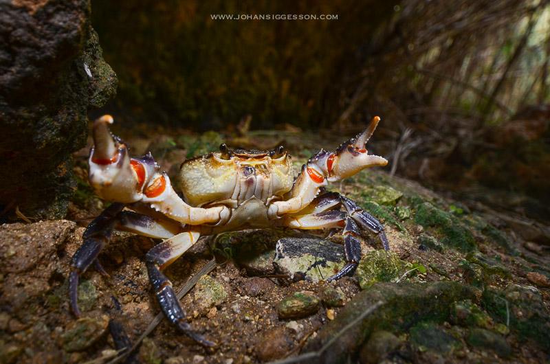 johan siggesson maltese crab