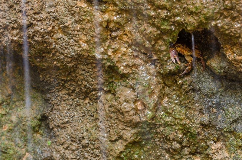 malta crab rare