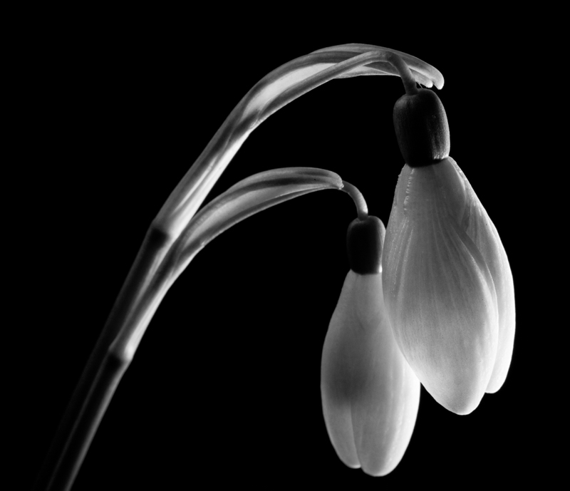 Low-key floral portraits can look great in black & white. Common snowdrop (Galanthus nivalis).