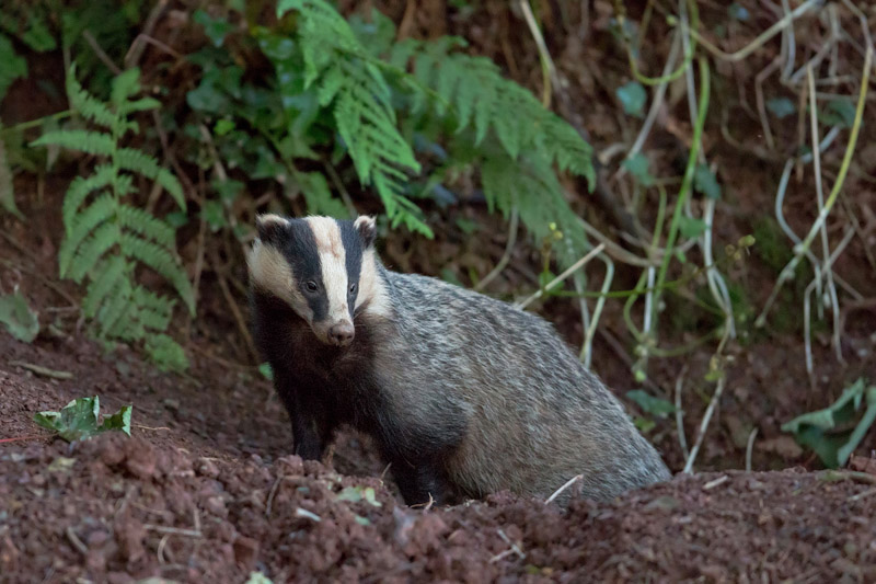 badger uk