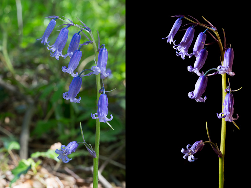 Before and after shot of a patch of bluebells. The only thing that has changed between the photos is the exposure and lighting method.