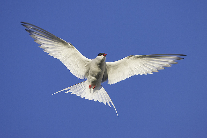 Arctic Tern (Sterna paradisaea) adult in flight. Iceland.