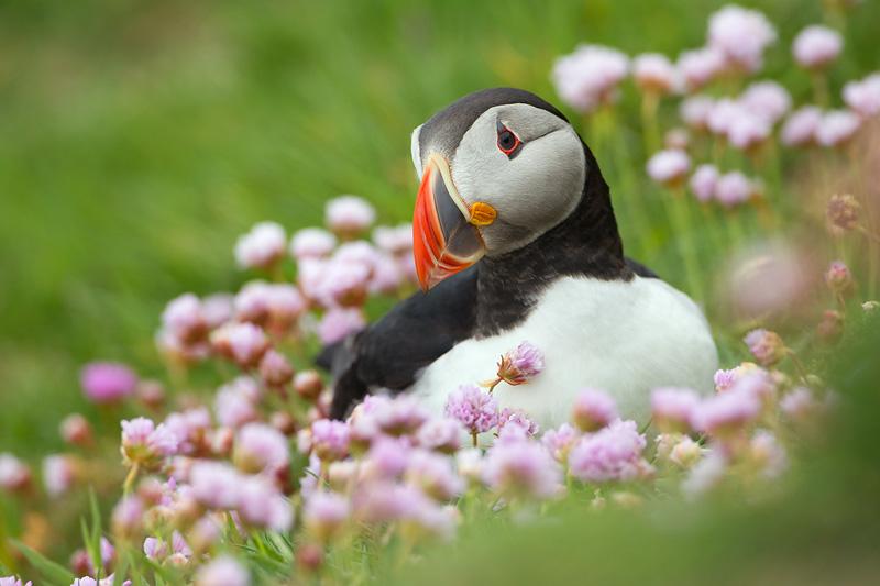 puffin seabird photography