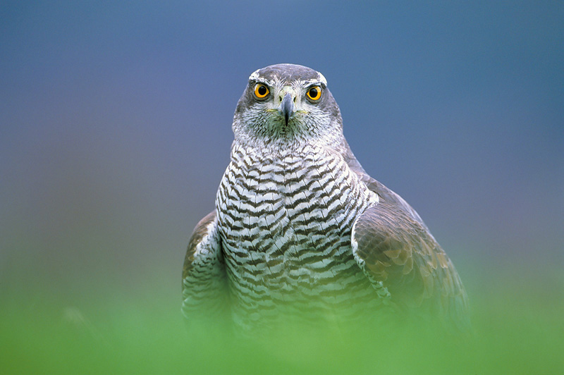 goshawk mark hamblin