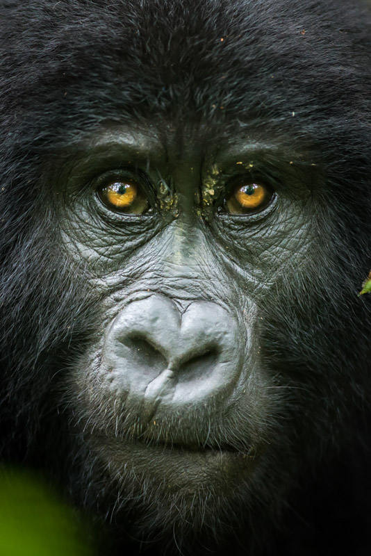 Mountain gorilla tom way