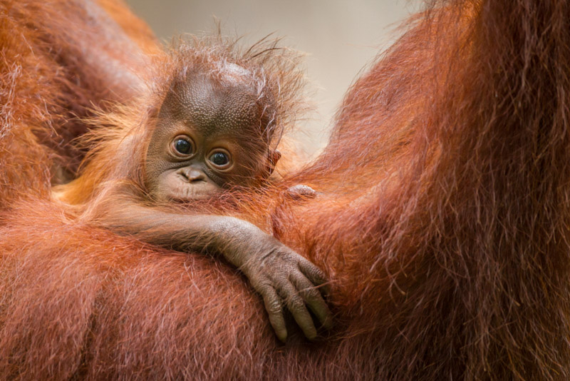orangutan photography tips