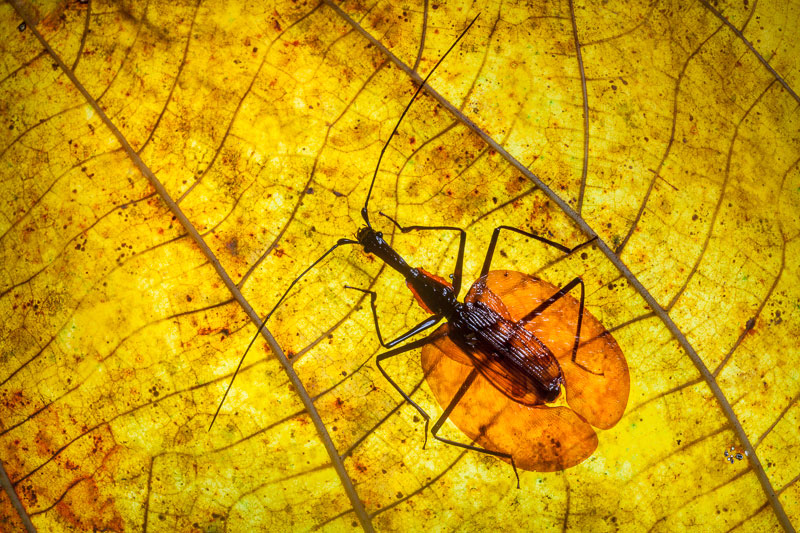 violin bug alexander hyde