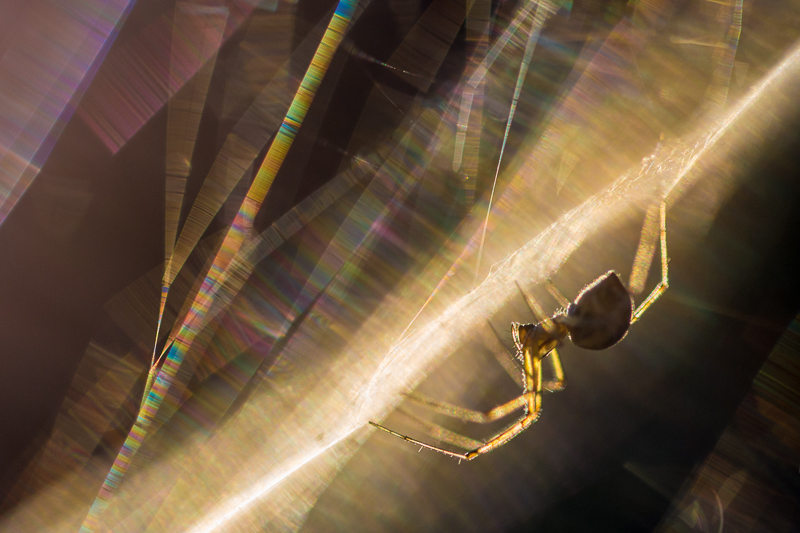 The low, golden light of the setting sun has picked out the silk strands and delicate translucent legs of this tiny sheetweb weaving spider.