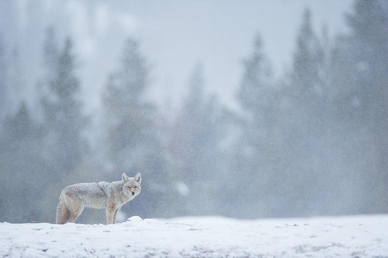 mark hamblin wolf