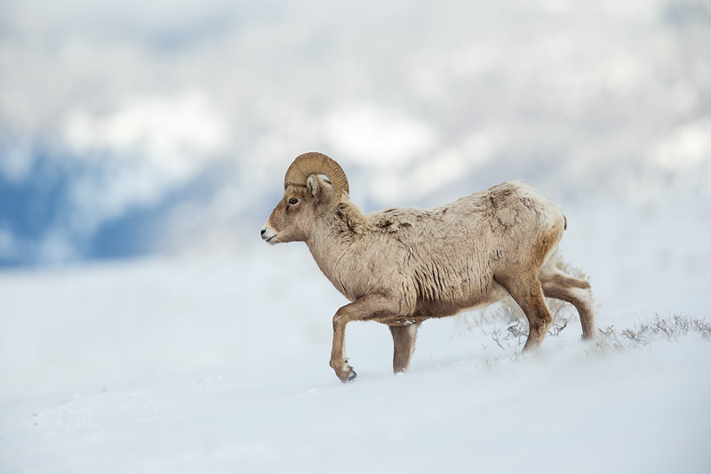bighorn sheep yellowstone