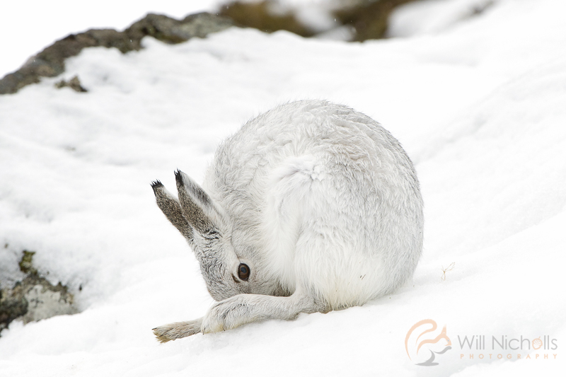 mountain hare cairngorms photography