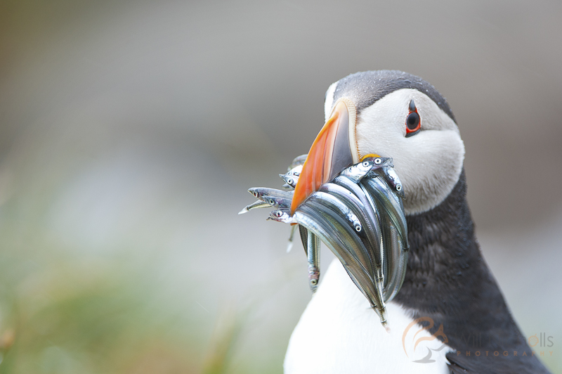 puffin atlantic farne islands
