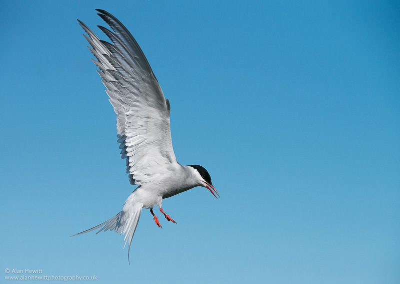 arctic tern on the farne islands