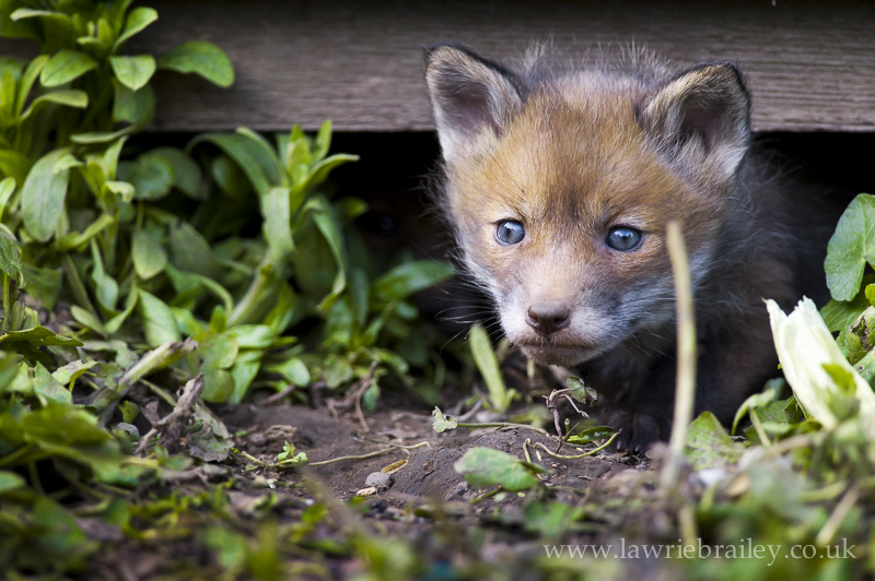 fox cubs photography