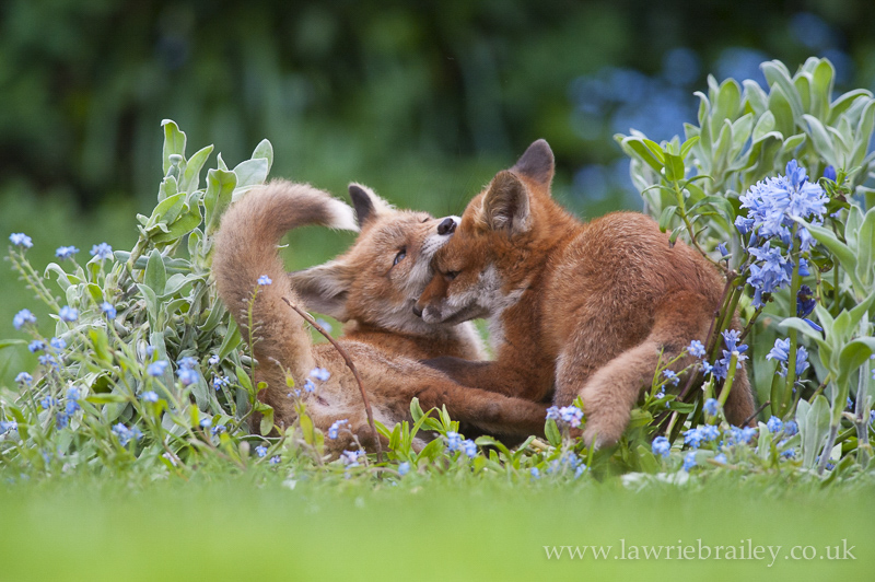 how to photograph fox cubs