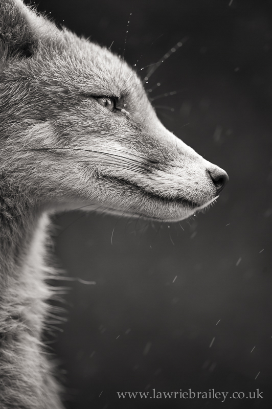 how to photograph foxes