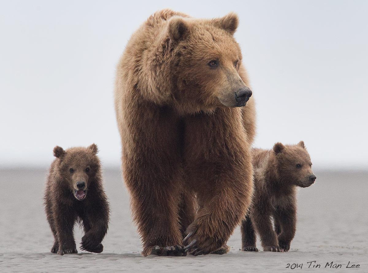 grizzly bear tin man lee